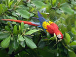Title: Scarlet Macaw