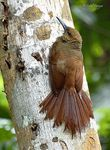 Title: Northern-barred Woodcreeper