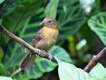 Title: Red-throated Ant-tanager