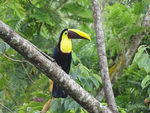 Title: Yellow-throated Toucan