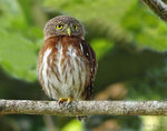 Title: Central American Pygmy-Owl