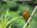 Title: White-lined Tanager
