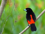 Title: Passerinis Tanager-male-