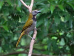Title: Buff-throated Saltator