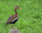 Title: Black-bellied Whistling-duck