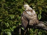 Title: Broad-Winged Hawk