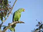 Title: Red-lored Parrot