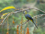 Title: Long-tailed Silky-flycatcher