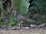 Title: Great Curassow ( female barred morph)