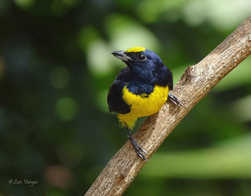 Spot-crowned euphonia-male-