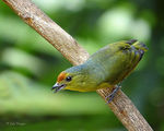 Title: Spot-crowned euphonia-female-