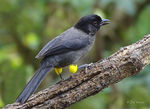 Title: Yellow-thighed Finch