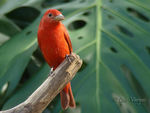 Title: Summer Tanager -male-