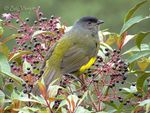 Title: Black-and-yellow Silky-Flycatcher