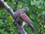 Title: Pale-vented Pigeon
