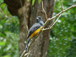 Title: Violaceus Trogon -female-