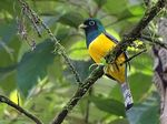 Title: Black-throated Trogon
