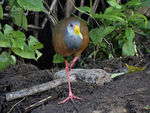 Title: Gray-necked Wood-Rail