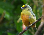 Title: Olive-backed Euphonia