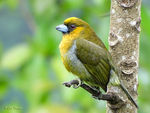 Title: Prong-billed Barbet
