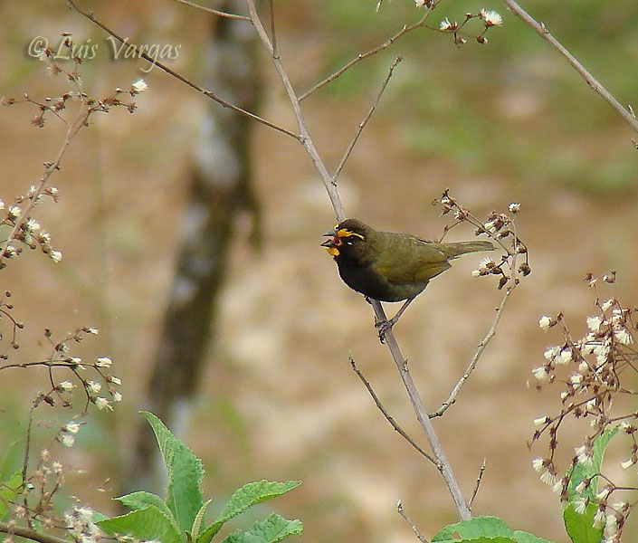 Yellow-faced Grassquit -male-