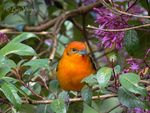 Title: Flame-colored Tanager