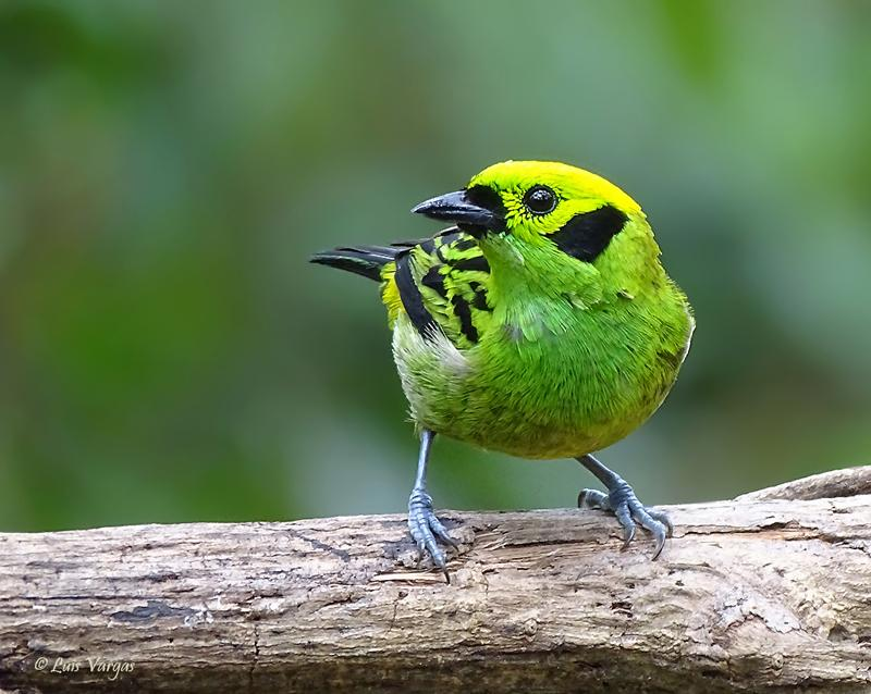 Esmerald Tanager