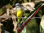 Title: Tropical Kingbird