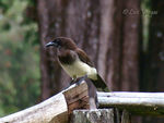 Title: Brown Jay