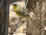 Title: Gray-crowned Yellowthroat -male-