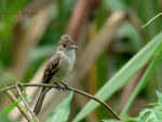 Title: tropical Pewee im,ature