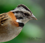 Title: Rufous-collared Sparrow