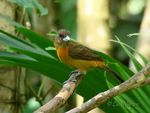Title: Cherrie's Tanager -female-