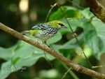 Title: Speckled Tanager