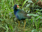 Title: Purple Gallinule