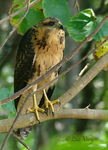 Title: Common Black-Hawk -immature-
