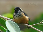 Title: Spangled-cheeked Tanager