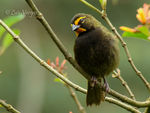 Title: Yellow-faced Grassquit