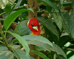 Title: Red-headed Barbet -male-