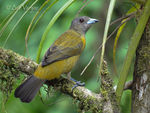 Title: Passerinis Tanager