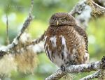 Title: Costa Rican Pygmy-Owl