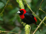 Title: Crimson-collared Tanager