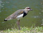 Title: Southern Lapwing
