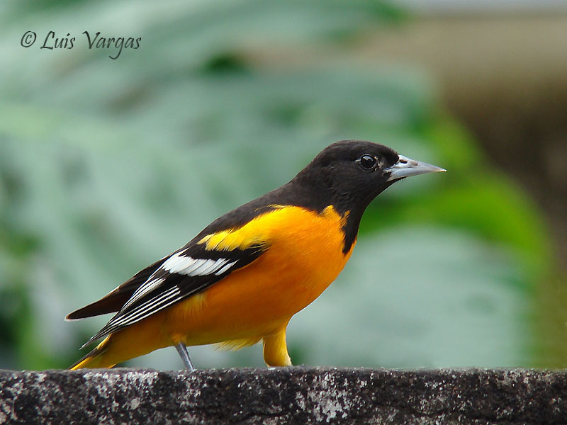 Baltimore Oriole | American Bird Conservancy