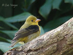 Title: Scarlet Tanager - male non breeding-