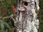 Title: Hairy Woodpecker (male)