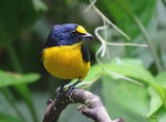 Title: Yellow-throated Euphonia-male-