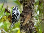 Title: Black-and-white Warbler