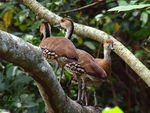 Title: Vest Indian Whistling-Duck