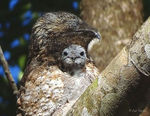 Title: Great Potoo